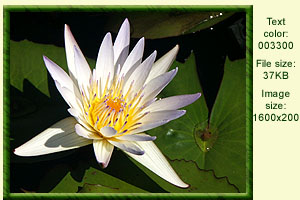 waterlily3